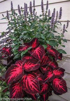 Easy To Grow Houseplants Clean the Air Coleus Ingswood Torch Coleus Need Very Bright Light For Leaves To Be This Colorful. Lawn And Garden, Garden Pots, Bonsai Garden, Box Garden, Garden Floor, Outdoor Plants, Outdoor Gardens, Backyard Plants, Outdoor Shade