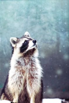 "tulipnight: ""Raccoon with snow by Satoru Kobayashi "" Nature Animals, Animals And Pets, Baby Animals, Funny Animals, Cute Animals, Strange Animals, Unique Animals, Forest Animals, Beautiful Creatures"
