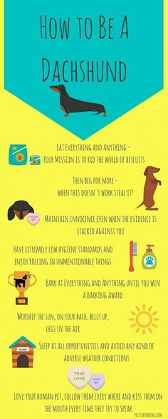 How to Be A Dachshund Infographic. clean a dachshund. anatomy of a dachshund. Dachshund Quotes, Dachshund Funny, Dachshund Gifts, Mini Dachshund, Dachshund Puppies, Weenie Dogs, Cute Puppies, Daschund, Dapple Dachshund