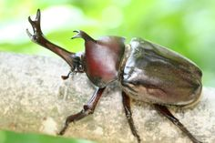 Most common beetle in Japan.