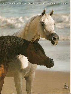 Arabian Horse World 2007.  Pianissima (2003 bay mare) Gazal El Shaqab {Anaza El Farid x Kajora by Kaborr} x Pianosa {Eukaliptus x Pinia by Probat} Bred by Janow Podlaski State Stud, Poland, and El Dorada (1998 grey mare) Sanadik El Shaklan {El Shaklan x Mohena by Hadban Enzahi} x Emigrantka {Eukaliptus x Emigracja by Palas} - Bred by Michalow State Stud, Poland. Two of the world's most exquisite Arabian mares.