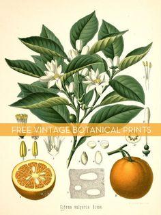 Free vintage botanical downloads! #printables