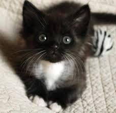 """""""tuxedo cats"""""""