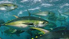 sio-yellowfin-tuna-2.jpg
