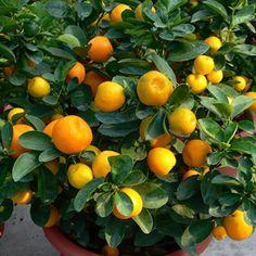 Fukushu Kumquat  Fortunella obovata Fukushu is a naturally small tree with a spreading habit that makes it an attractive ornamental shrub. T...