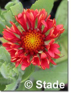 Staudenfoto zu Gaillardia x grandiflora 'Fanfare Blaze ®' (Garten-Kokardenblume) Shops, Plants, Culture, Lawn And Garden, Tents, Retail, Plant, Retail Stores, Planets