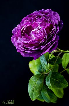 """Purple Rose"" by Fotography4u on flickr"