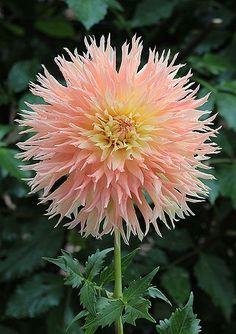 'Marcia Pat' Dahlia Beautiful gorgeous pretty flowers