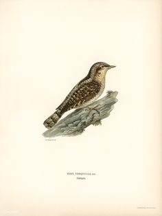 Eurasian wryneck (Jynx torquilla) illustrated by the von Wright brothers. Digitally enhanced from our own 1929 folio version of Svenska Få Vintage Birds, Vintage Images, Vintage Bird Illustration, Wright Brothers, Closer To Nature, Free Illustrations, History Books, Public Domain, Natural History