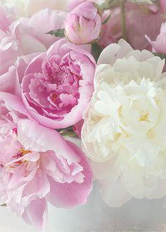 pink peonies (by lynda naranjo)