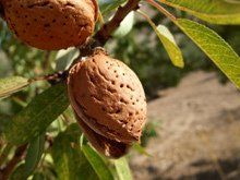 Texas Mission Almond Tree for Sale Growing Fruit Trees, Fast Growing Trees, Growing Herbs, Fruit Plants, Fruit Garden, Edible Garden, Homemade Almond Milk, Tree Care, Best Fruits
