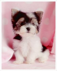 31 Pictures of the elegant Yorkshire Biewer Dog - meowlogy Yorkies, Biewer Yorkie, Yorkie Puppy, Animals And Pets, Baby Animals, Funny Animals, Cute Animals, Cute Puppies, Cute Dogs