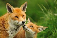 Mama Fox and cub