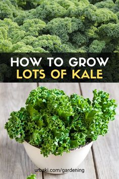 Kale is a cool-weather crop. Plant kale in Fall or Spring. Kale seeds germinate in 5 to 7 days. Plant spacing should be 18 inches apart and row spacing 18 inches to 2 feet apart. You can harvest Kale throughout its growing cycle. Sautee kale leaves, make kale chips, or add kale to your salad and enjoy! #urbakigardening #gardening #kale #growkale #growvegetable #vegetable