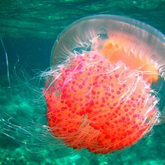 Pretty Jelly Fish