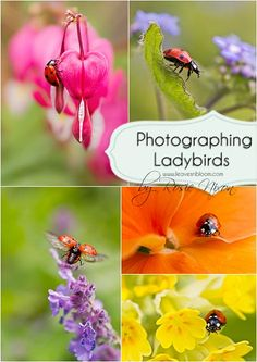 Photographing ladybirds by Rosie Nixon, leavesnbloom fine art& photography, Scotland.