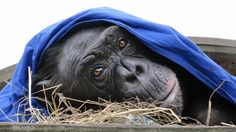 Chimpansee Fiffy