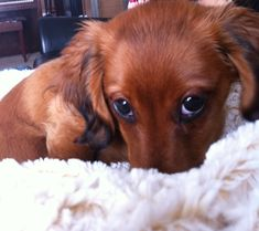 Long haired daschund. This is the look I get before going to school.