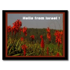 Aloe arborescens Postcard - brilliant red flowers of the aloe from Israel.
