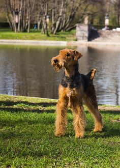 Airedale terrier - null