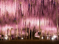Ashikaga's wisteria trees bloom brilliantly for a few weeks every spring, turning the park into a vision of pastel pinks and purples.