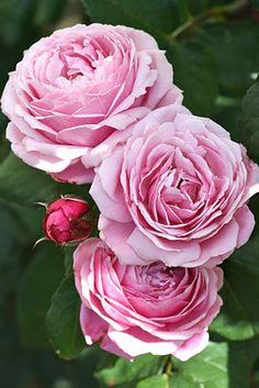 """French Delbard 'Soeur Emmanuelle', which has a notably spicy fragrance."""