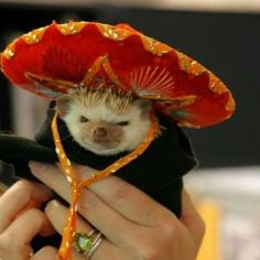 Aww a little Mexican hedgehog
