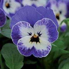 It's a face in a flower...I find it fascinating!  Viola - Sorbet Delft Blue F1 Hybrid