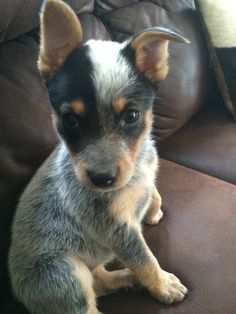 I can not deal with the cuteness of blue heelers! I had one since I was little and he was my world. Sadly, he passed away 2 years ago. I miss him everyday.