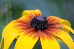 Gloriosa Daisy Flowers Blooming in the High Desert