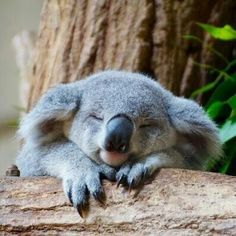 Koala is one of the laziest animals in the world, and there is only koala in Australia. The sleeping time for a koala is approximately 20 hours or even more every day. Cute Baby Animals, Animals And Pets, Funny Animals, Wild Animals, Funny Koala, Nature Animals, Zoo Animals, Tier Fotos, Cute Creatures