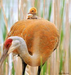 Mother's love ! Photo Jim Ridley #sandhillcrane #baby