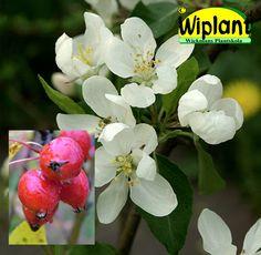 Malus 'Dolgo', Prydnadsäppel. Vita blommor, fina frukter. Höjd 4,5-6 m.