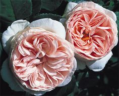 "Shade Tolerant & Thornless Roses. Heritage (English, David Austin) is a nearly thornless shrub rose.  Roses classified as ""nearly thornless"" tend to have thorns on lower/older wood, with unarmed new growth perfect for cutting."