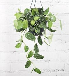 The hanging Satin Pothos indoor houseplant, otherwise knows as the Scindapsus Pictus Argyraeus is a relative of the Epipremnum and available to buy online, delivered nationwide. Hanging Plants, Indoor Plants, Indoor Trees, Indoor Garden, Trees To Plant, Plant Leaves, Plants Delivered, Compost Bags, Dappled Light