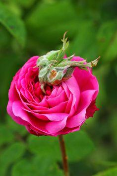 Rosa 'Hippolyte'