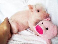 micro pig | petite porkers # mini pigs # teacup pigs # micro pig