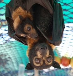 I'll be spending two weeks at the tolga bat hospital to volunteer with orphaned flying foxes