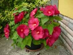 Mocsári hiniszkusz-Hibiscus moscheotus Garden Trees, Trees To Plant, Hawaiian Flowers, Tropical Garden, Garden Planning, Pansies, Beautiful, Gardens, Parks