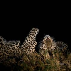 One of my all time favourite shots of my favourite leopard! #blessed #motivate…