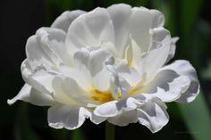 Nu Beauty / White Peony Tulip / April 2015 https://www.facebook.com/goodallphoto