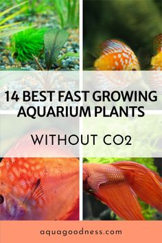 In this article, I have shared with you 14 best fast growing plants that can easily grow without CO2. This list contains freshwater aquarium plants. Most of these aquarium plants are beginner friendly and easy to maintain. #aquariumplants #liveaquariumplants #aquarium