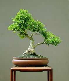 Delicate Bonsai