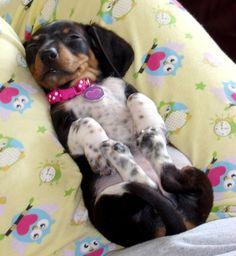 Sleepy Dachshund puppy