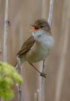 Reed Warbler