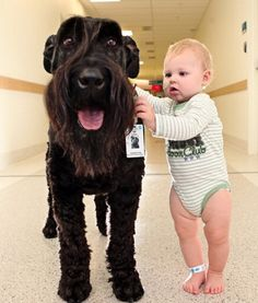 Every Monday, Ralf the 8-year-old Giant Schnauzer can be found doing his hospital rounds at the Royal Children's Hospital in Melbourne, Australia. Ralf is a favorite among patients, bringing smiles to children's faces with his soft  coat and floppy tongue while they sit through chemotherapy sessions or recover after surgery. Ralf never lets his little friends down, and he never misses a shift at the hospital