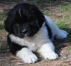 black newfoundland puppy - Google Search