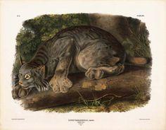 Global Gallery 'Canada Lynx' by John James Audubon Framed Graphic Art Size: Currier Museum Of Art, Canada Lynx, Audubon Prints, Audubon Birds, North American Animals, Thing 1, John James Audubon, Free Illustrations, Antique Prints