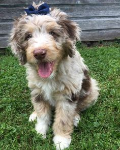 The Aussiedoodle is the super-clever hybrid produced by crossing the Poodle with the Australian Shepherd. Both parent breeds are renowned for their intelligence Toy Aussie, Aussie Puppies, Cute Puppies, Dogs And Puppies, Corgi Puppies, Mini Aussie Puppy, Puppies Tips, Blue Merle, Australian Shepherds
