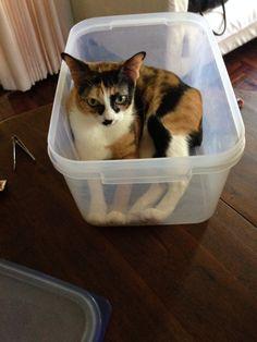 Calico (princess Calli) Cat | Pawshake